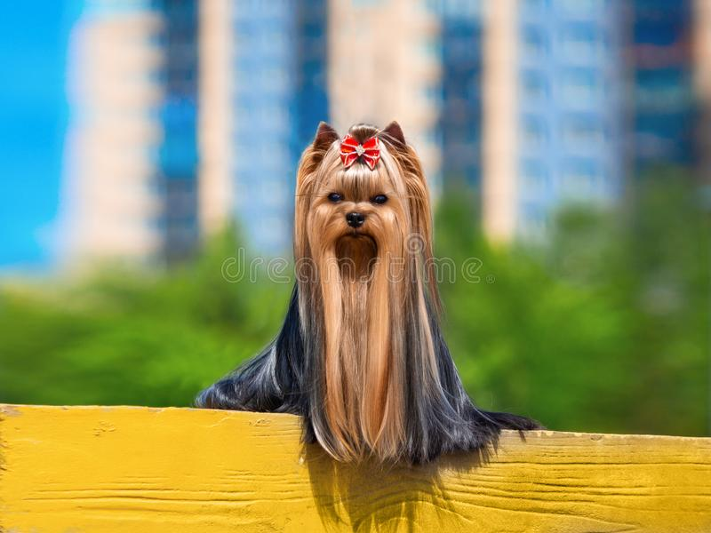 Perro lindo de Yorkshire Terrier que juega en la yarda fotos de archivo