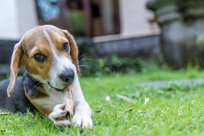 Perro lindo del beagle de la raza del perrito en un fondo verde natural Isla tropical Bali, Indonesia imágenes de archivo libres de regalías