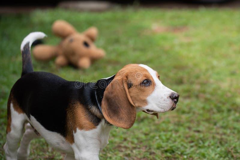 Perro lindo del beagle que juega en la hierba fotografía de archivo