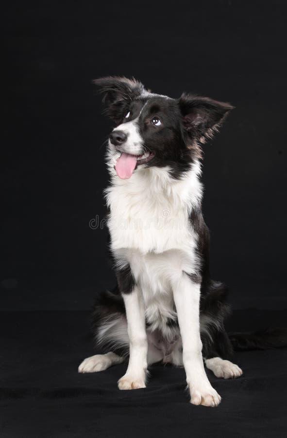 Perro lindo del border collie foto de archivo libre de regalías
