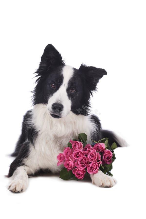 Perro lindo del border collie con las rosas fotos de archivo libres de regalías