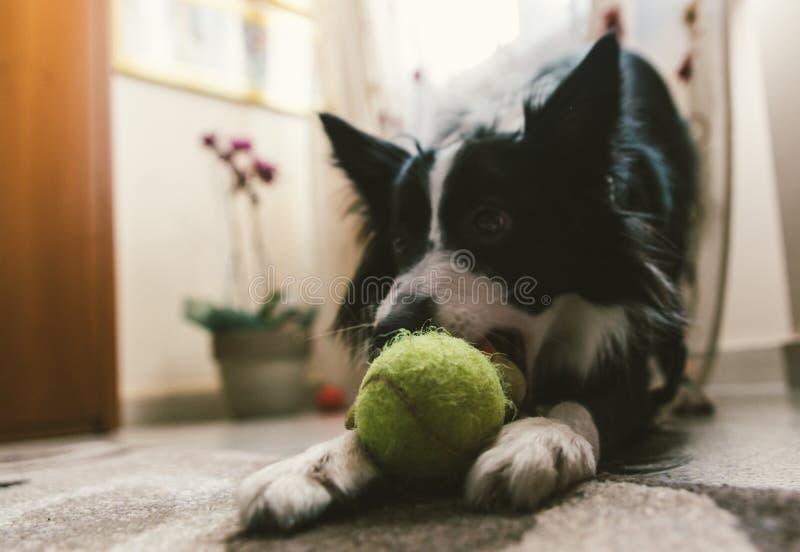 Perro lindo del border collie que juega con su bola fotografía de archivo