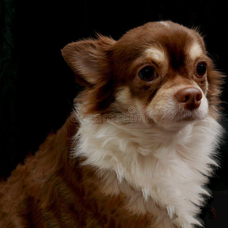 Perro lindo del chiwawa en fondo negro foto de archivo libre de regalías
