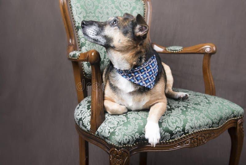 Perro lindo del Corgi que se relaja en una silla fotografía de archivo libre de regalías