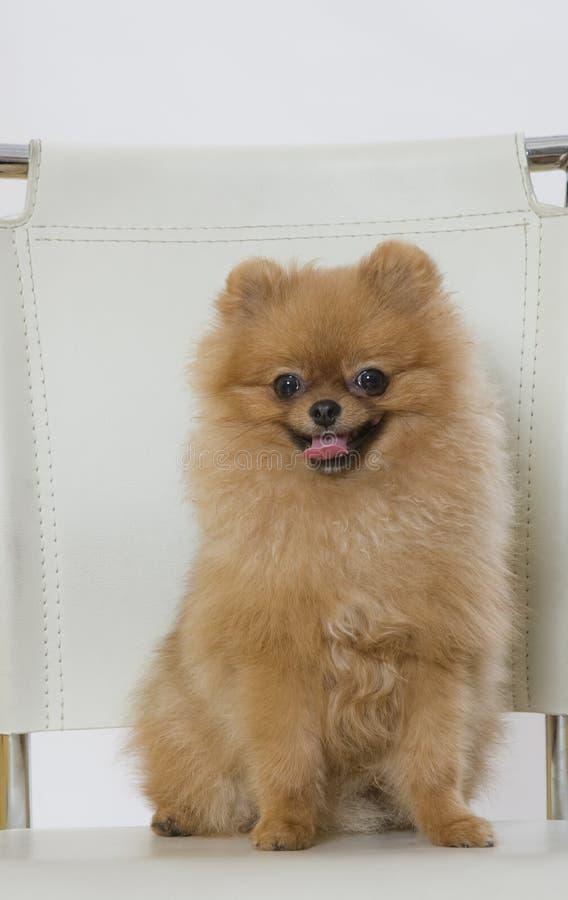 Perro lindo del perro de Pomerania con la piel roja foto de archivo