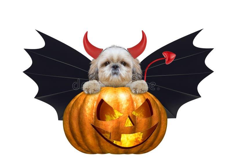 Perro lindo del shitzu de la bruja de la calabaza de Halloween en el traje del palo - aislado en blanco imagen de archivo