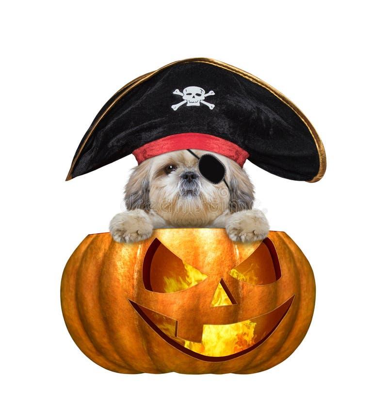 Perro lindo del shitzu de la bruja de la calabaza de Halloween en el traje del pirata - aislado en blanco imagenes de archivo