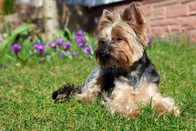 Perro lindo del terrier de Yorkshire imágenes de archivo libres de regalías