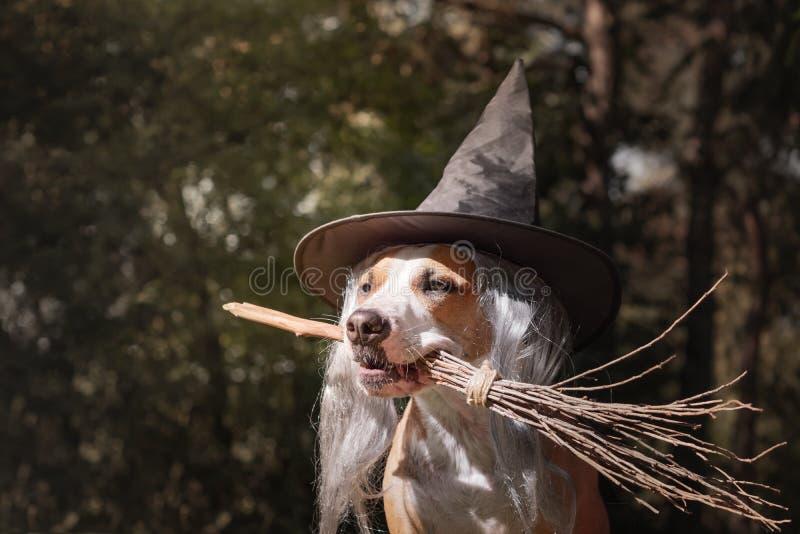 Perro lindo en el sombrero de la bruja que sostiene el palo de escoba Retrato de hermoso fotos de archivo