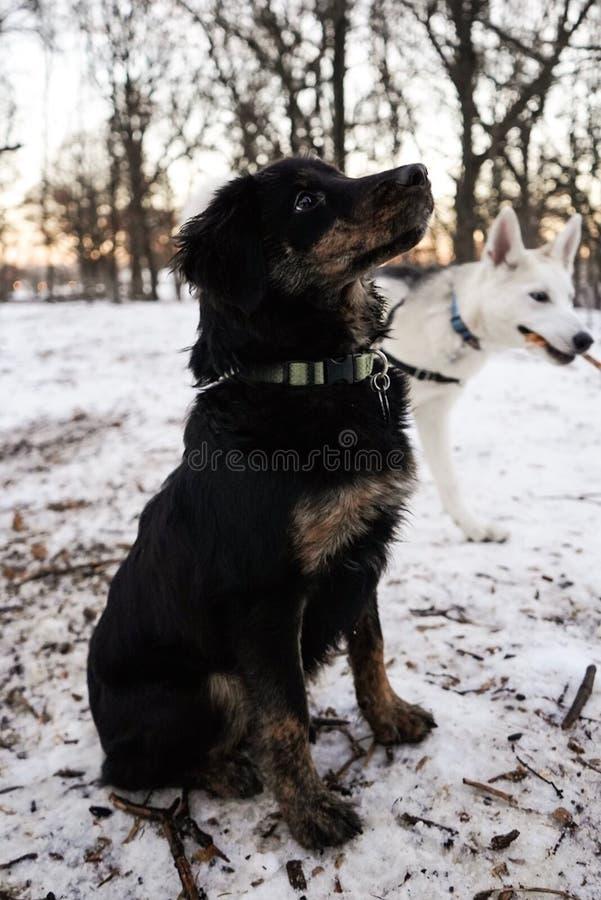 Perro lindo negro del compañero que mira para arriba a su dueño con un Wolfdog checoslovaco en el fondo fotos de archivo