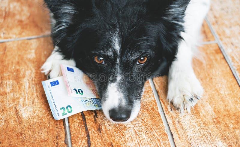 Perro lindo que mira el dinero Border collie blanco y negro con los billetes de banco euro foto de archivo libre de regalías
