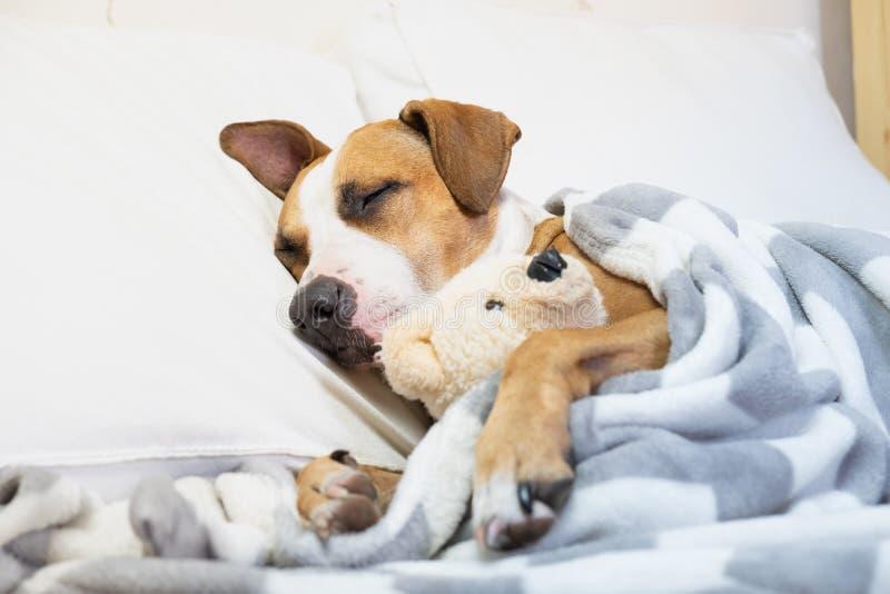Perro lindo soñoliento en cama con un oso mullido del juguete Ter de Staffordshire fotografía de archivo