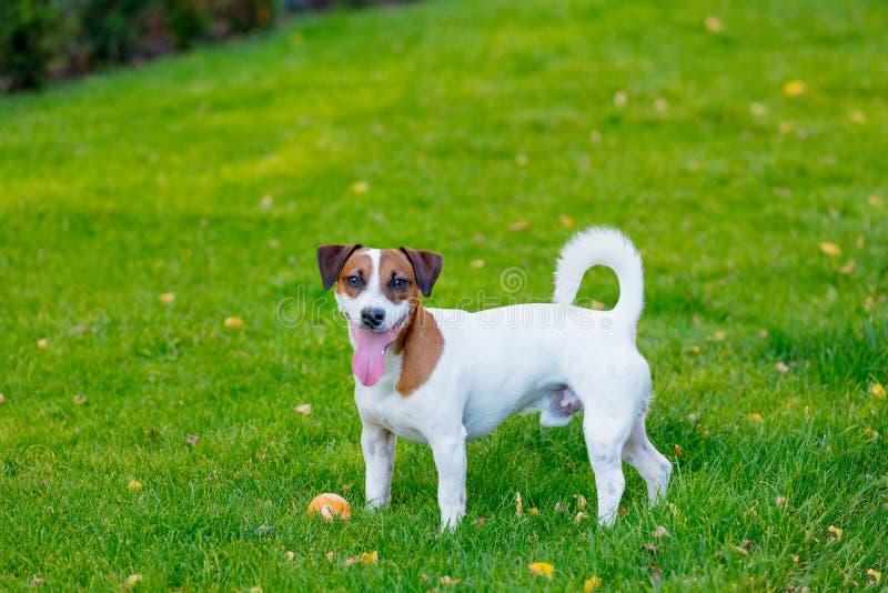 Perro liso-revestido joven de Jack Russell Terrier imagen de archivo libre de regalías
