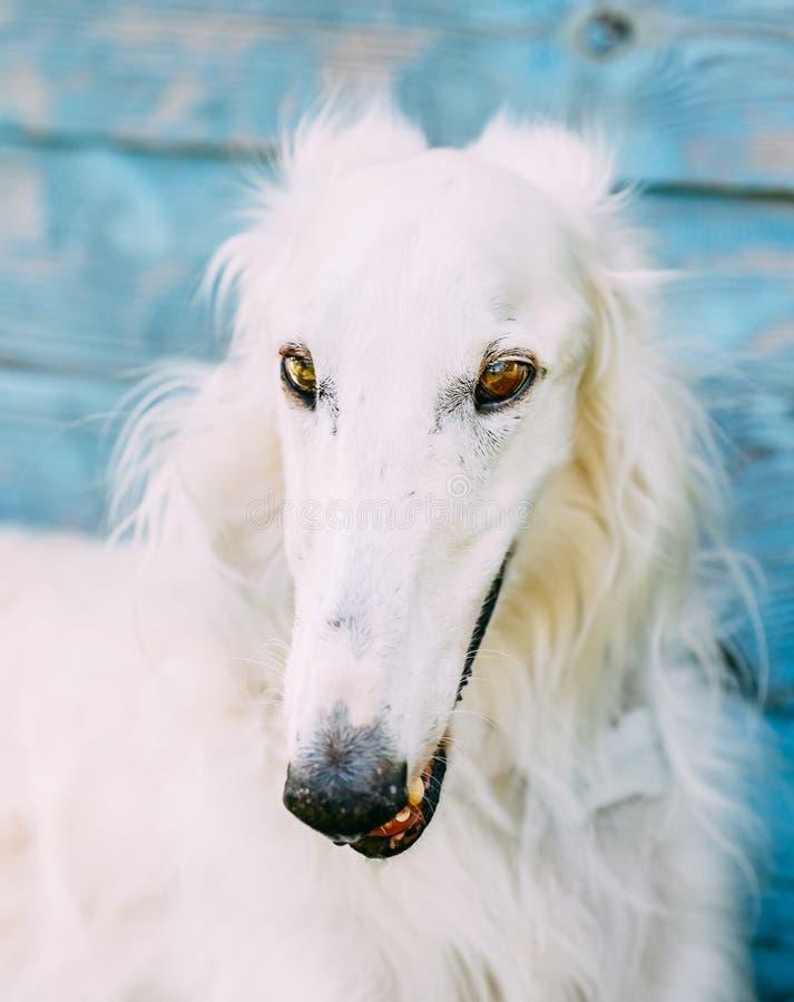 Perro lobo ruso del galgo ruso del perro fotos de archivo