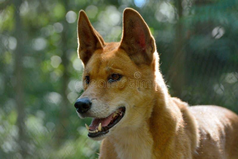 Perro Lupus Dingo del dingo fotografía de archivo