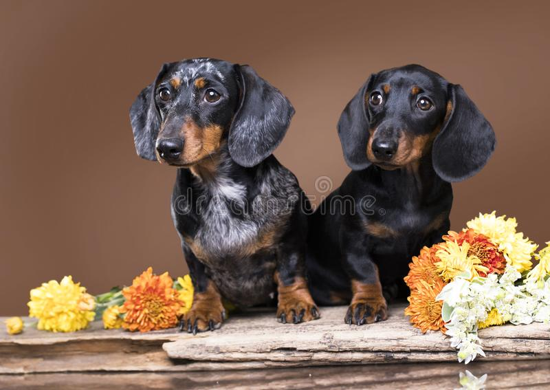 perro madre y cachorro negro dachshund fotografía de archivo