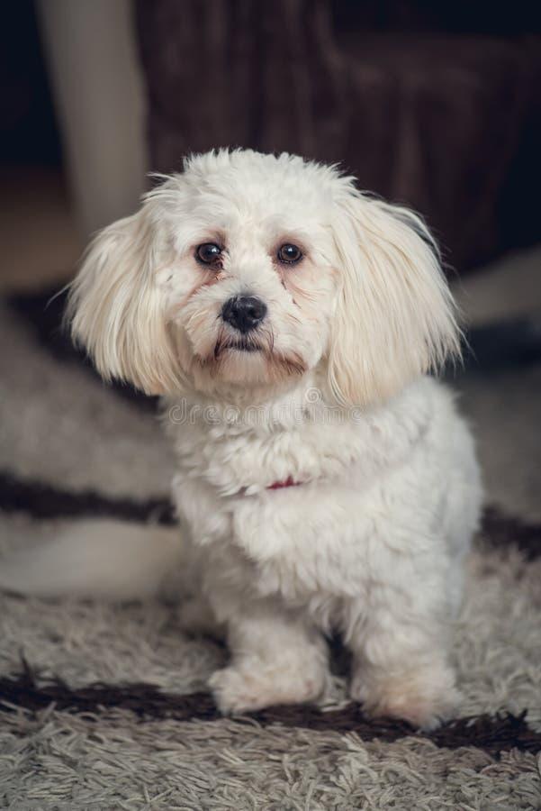 Perro maltés blanco joven en casa foto de archivo