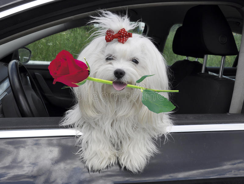 Perro maltés con una rosa en dientes en el coche que mira hacia fuera la ventana imagenes de archivo