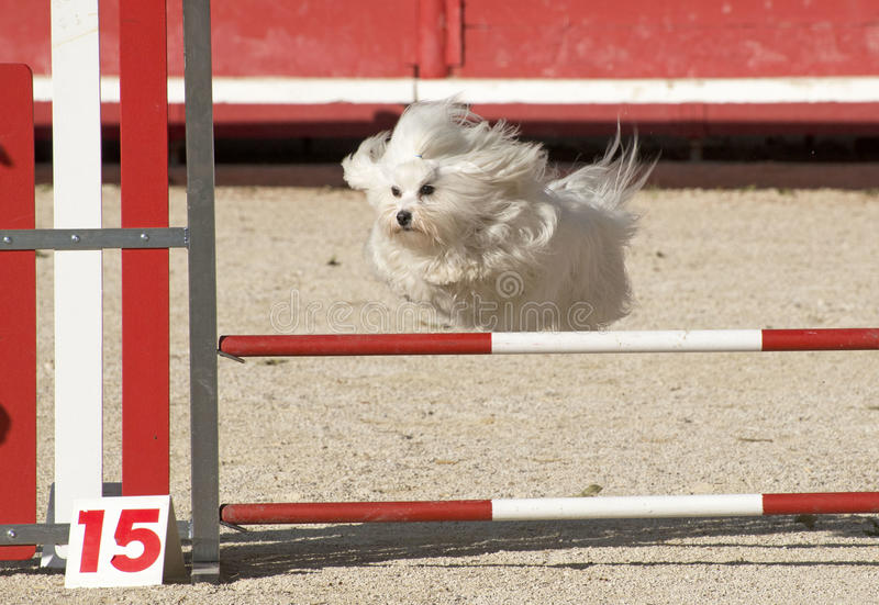 Perro maltés en agilidad imagenes de archivo