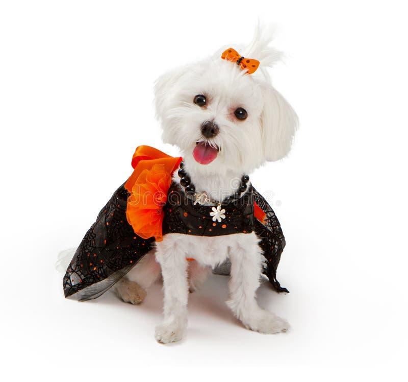 Perro maltés que desgasta el traje de víspera de Todos los Santos fotografía de archivo
