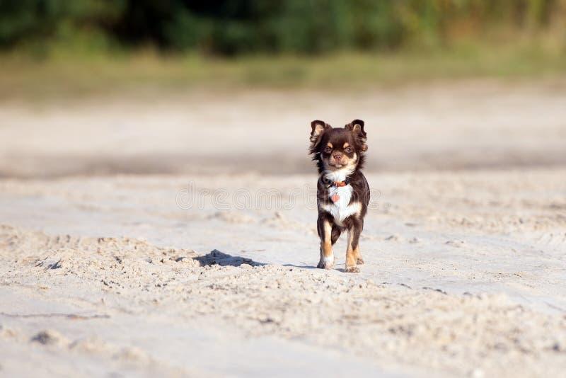 Perro marrón adorable de la chihuahua al aire libre fotografía de archivo