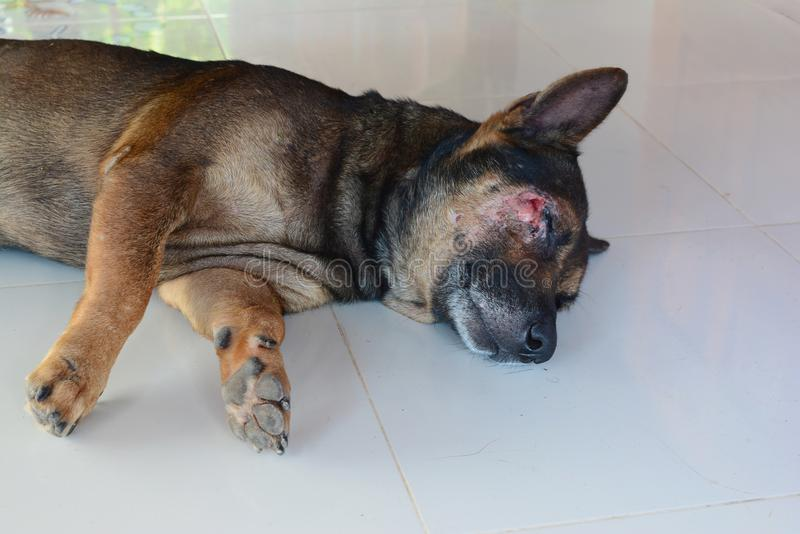 perro marrón el dormir herido en la cara imagenes de archivo