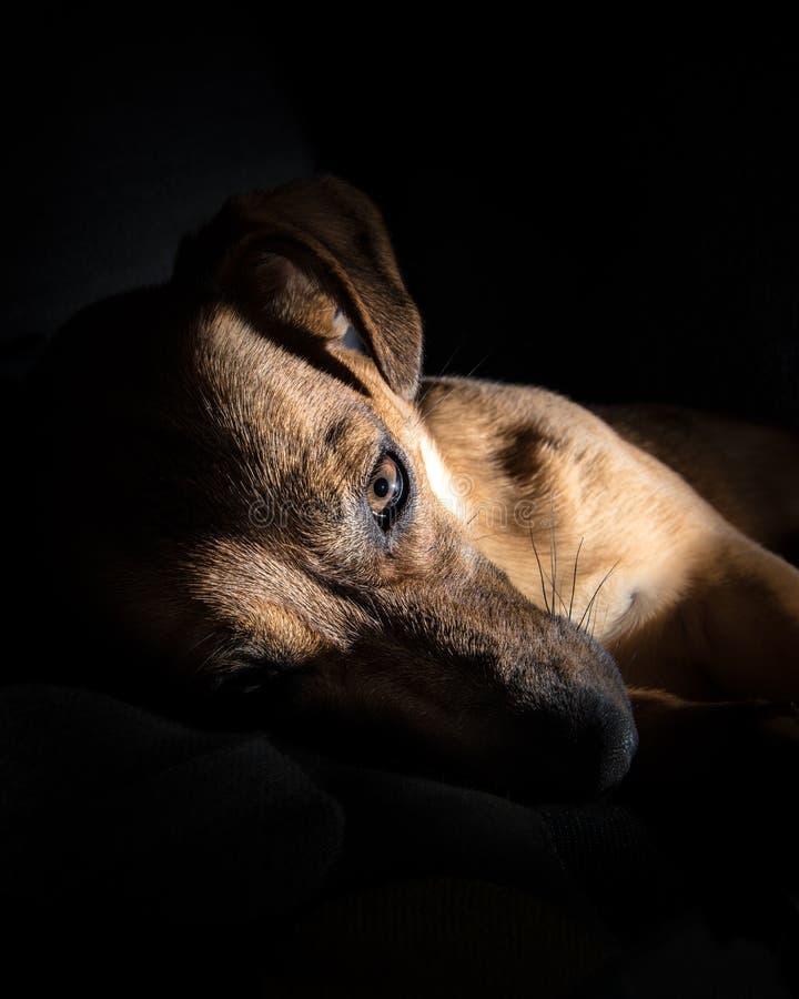 Perro marrón joven que duerme en un sofá - fotografía linda del animal doméstico - perro del rescate imagen de archivo libre de regalías