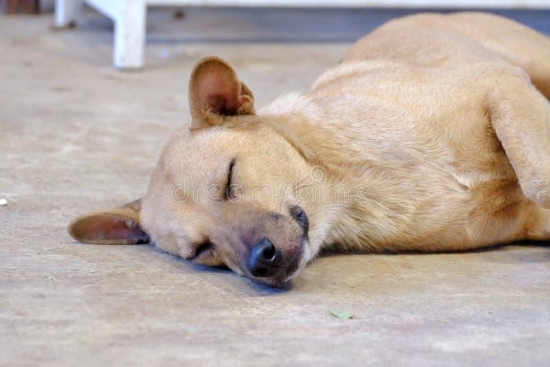 Perro marrón tailandés que duerme en la planta del cemento foto de archivo