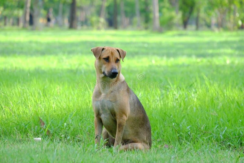 Perro marrón tailandés que se sienta en un campo de hierba en el parque con el fondo verde de la naturaleza y la luz caliente fotos de archivo