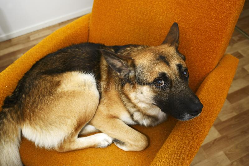 Perro marrón triste que miente en la silla anaranjada foto de archivo libre de regalías