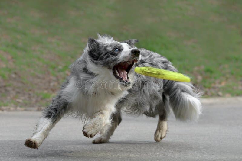 Perro masculino del border collie imágenes de archivo libres de regalías