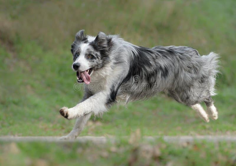 Perro masculino del border collie foto de archivo libre de regalías