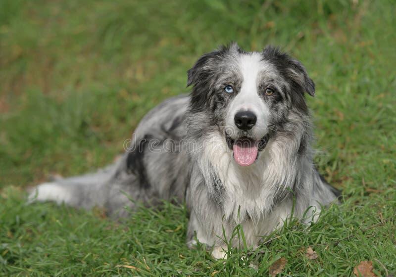 Perro masculino del border collie fotos de archivo