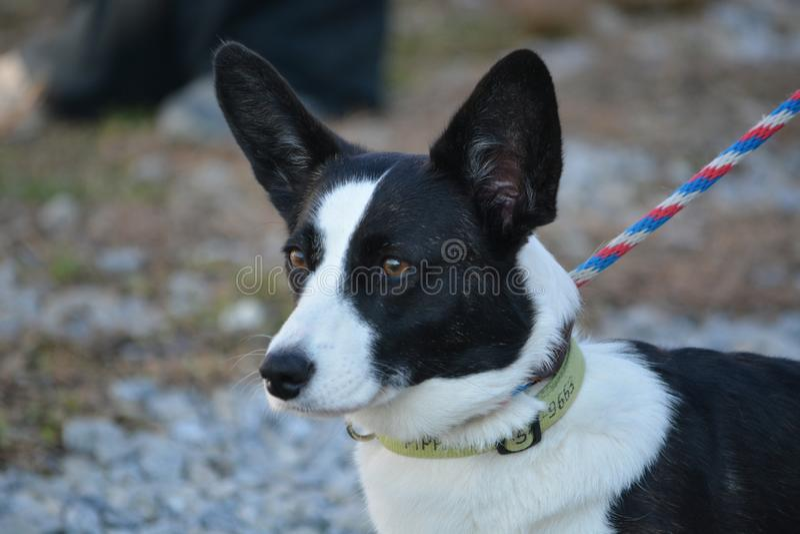 Perro masculino del Corgi Gal?s de la rebeca imagen de archivo