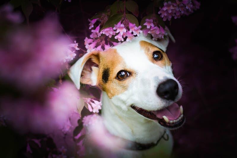 Perro masculino del enchufe del terrier hermoso de Russel que se sienta entre las hojas foto de archivo