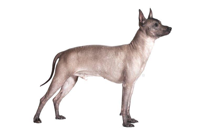 Perro masculino del xoloitzcuintle mexicano aislado en blanco imagen de archivo