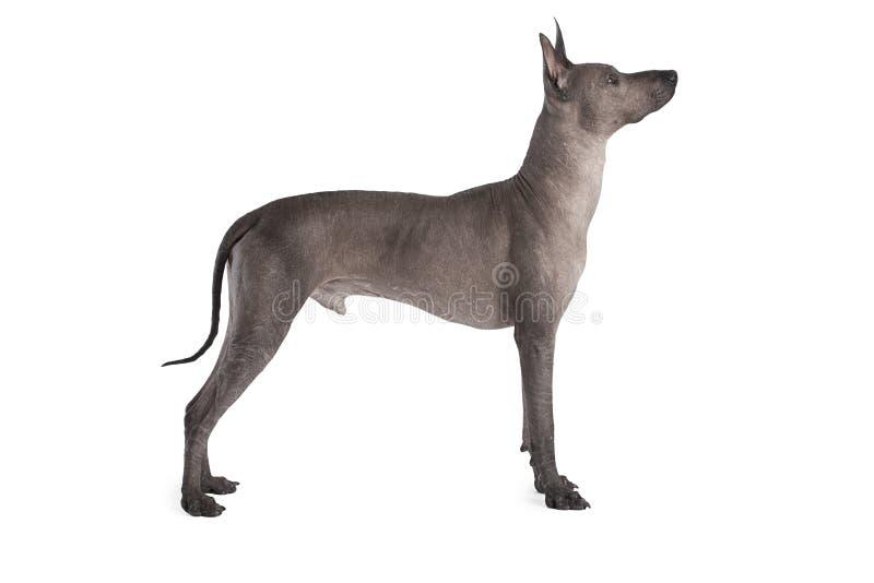 Perro masculino. Xoloitzcuintle mexicano imágenes de archivo libres de regalías