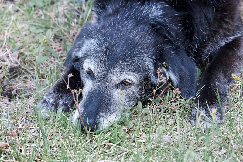 Perro mayor viejo que duerme en la hierba imagen de archivo