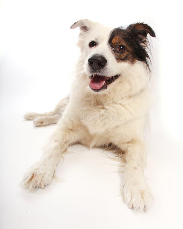Perro mestizo en blanco fotografía de archivo