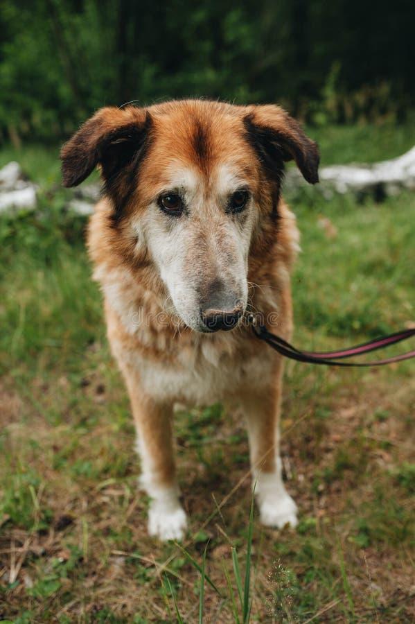 Perro mestizo rojo en el bosque fotos de archivo libres de regalías