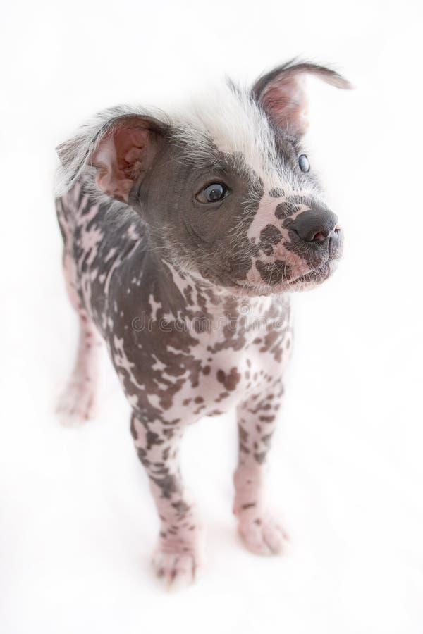 Perro mexicano sin pelo 3 fotografía de archivo libre de regalías