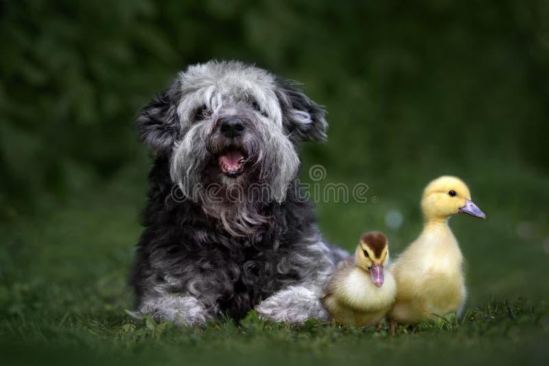 Perro mezclado adorable de la raza que presenta con los anadones imagen de archivo