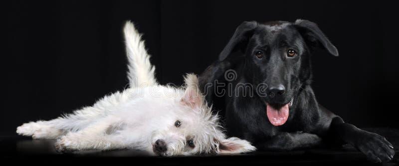 Perro mezclado blanco y negro de la raza que miente en un photostudio oscuro foto de archivo