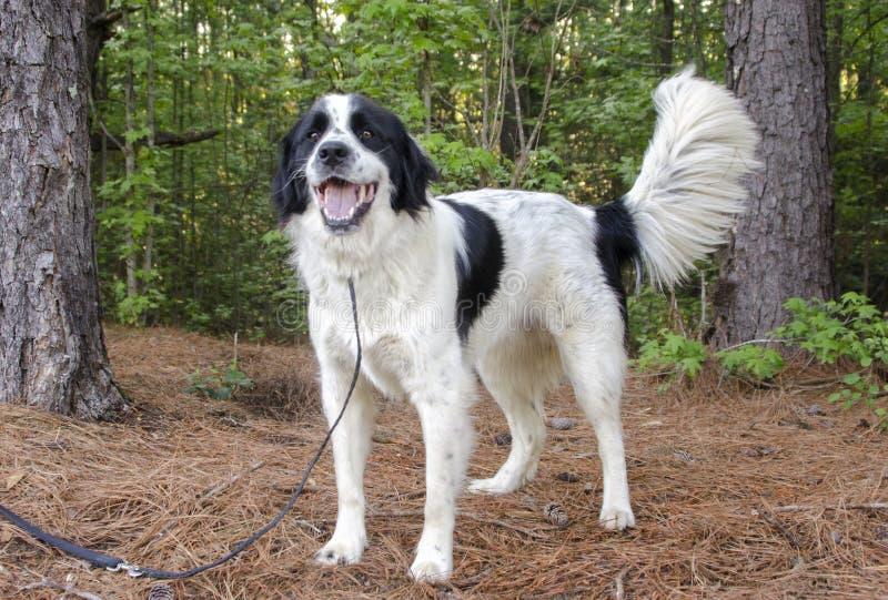 Perro mezclado Collie Great Pyrenees de la raza de la frontera imagenes de archivo