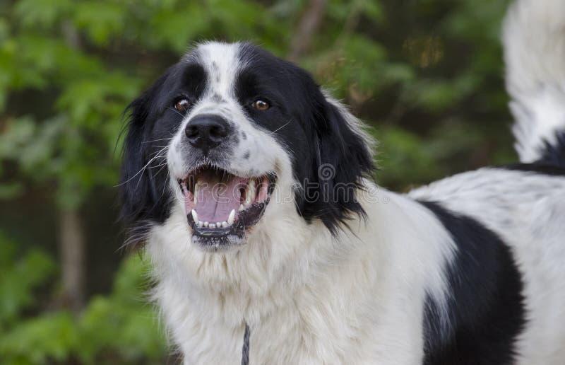 Perro mezclado Collie Great Pyrenees de la raza de la frontera imagen de archivo