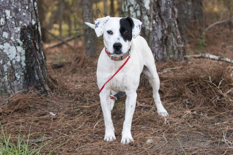 Perro mezclado de la raza del indicador dálmata afuera en el correo foto de archivo libre de regalías