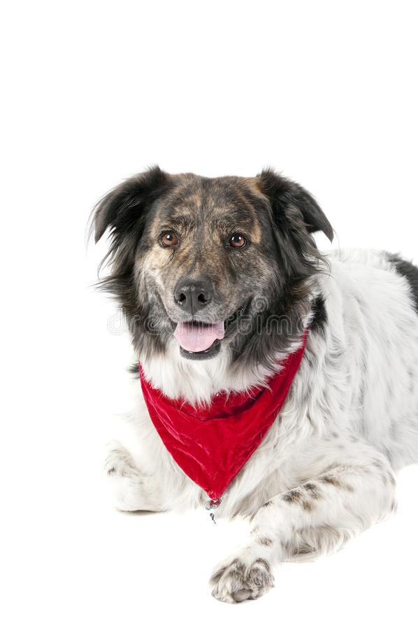 Perro mezclado de la raza en la fijación del traje de la Navidad del día de fiesta aislada fotografía de archivo