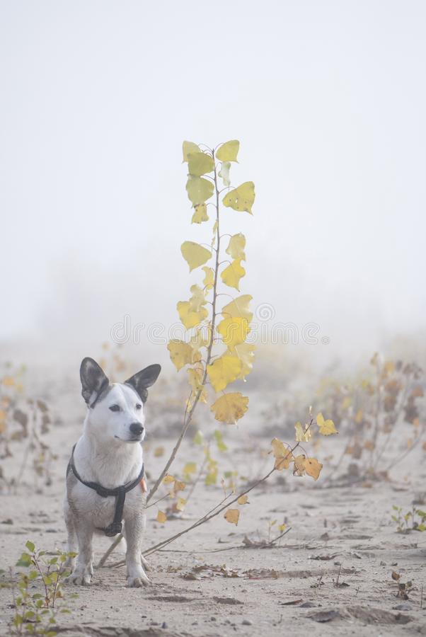 Perro mezclado de la raza en un paseo por una mañana brumosa fotos de archivo