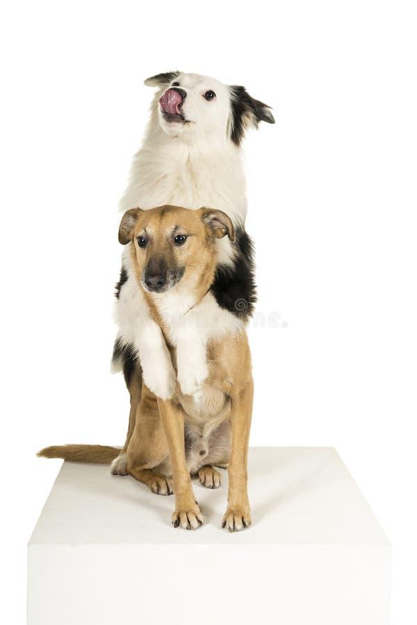 Perro mezclado de la raza y pastor australiano que abrazan mirando el fondo blanco divertido imagen de archivo
