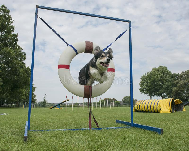 Perro mezclado del border collie que salta con el salto del neumático en un curso de la agilidad foto de archivo libre de regalías
